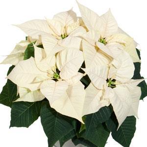 Christmas Glory White Image