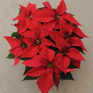 Christmas Joy Red Image