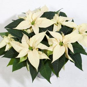 Christmas Joy White Image