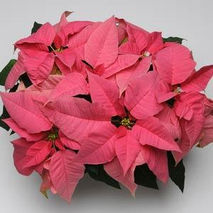 Christmas Season Pink Image