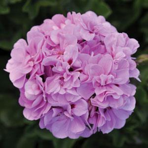 Royal Lavender Blue Image