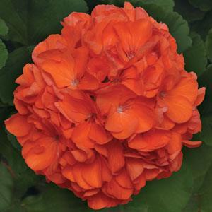 Sunrise XL Orange Image