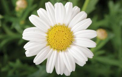 Sassy® Compact White Image