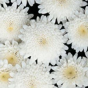 Madeira Double White Image