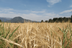 wheat-field-100dpi