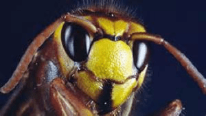 Viral Video Shows Murder Hornet Killing Mouse In Under a Minute