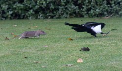 The Rat & Magpie 05 © Carl Milner 2012