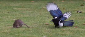 The Rat & Magpie 08 © Carl Milner 2012