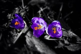 The Purple Three