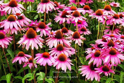 echinacea purpurea (eastern purple coneflower or purple coneflower) flowers in bloom