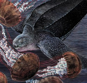 Scratchboard and ink illustration of a Leatherback Turtle and Sea Nettles for a series of posters from the Monterey Bay National Marine Sanctuary