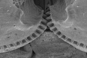 Kornatka hnědá má na zadních nohách ozubená kolečka...