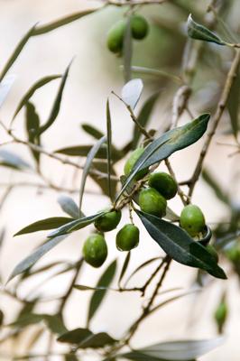 Rohelised portugali oliivid