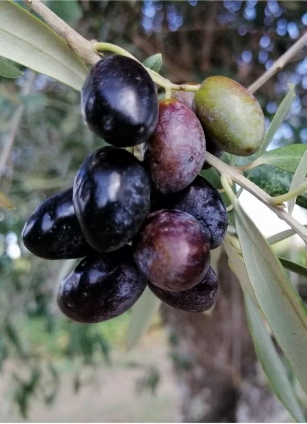 galega oliivid