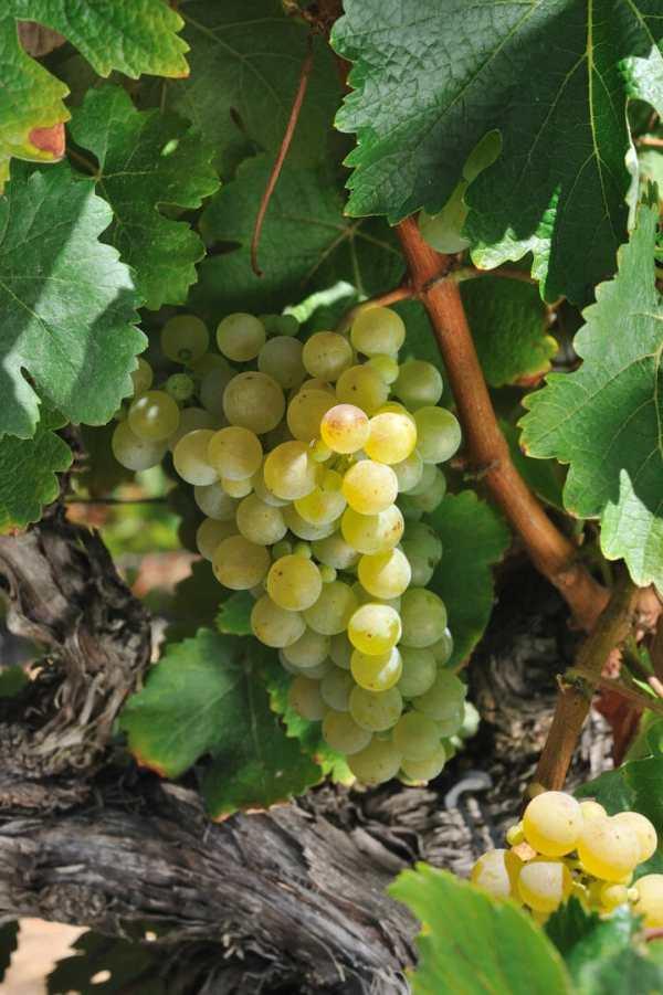 encruzado viinamari