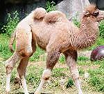Sponsor Addi Jean, the Zoo's baby Bactrian camel