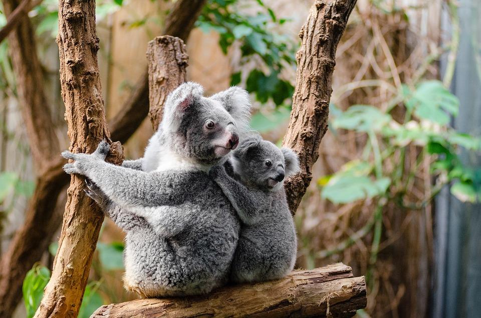 Los koalas son marsupiales que sólo se pueden encontrar en Australia