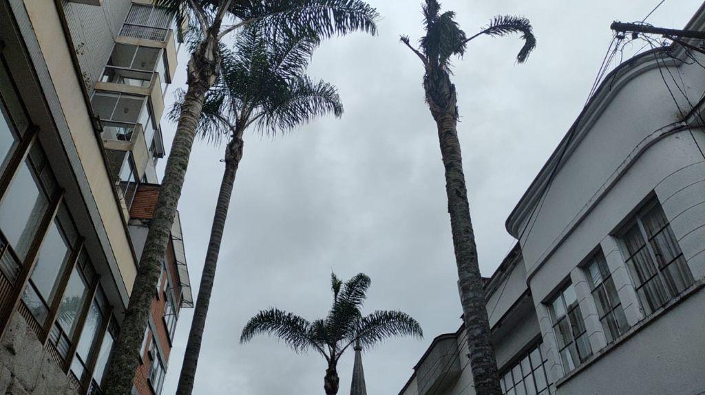 Por inadecuado estado fitosanitario, Secretaría de Medio Ambiente autorizó la tala de dos palmeras en la carrera 23