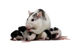 ratas y ratones crias