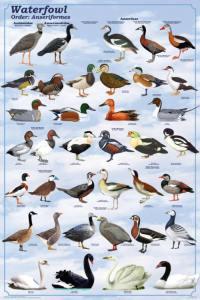 Clasificación aves Anseriformes