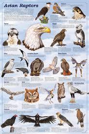 Clasificación aves Falconiformes