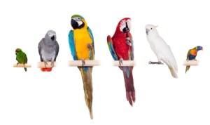 Clasificación aves Psittaciformes