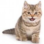 cuidados gatos alimentación cachorros