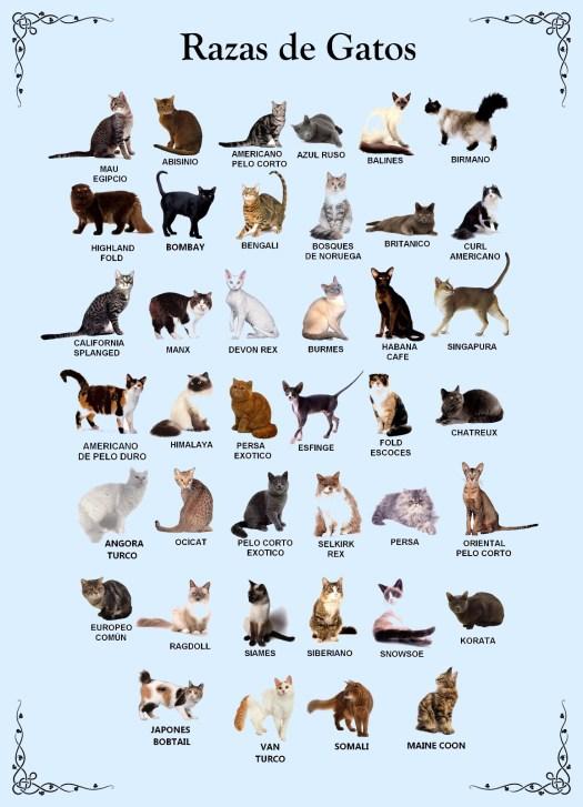 razas de gatos