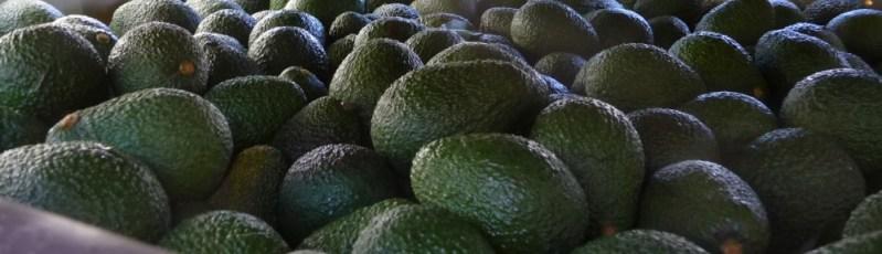 bulk avocados