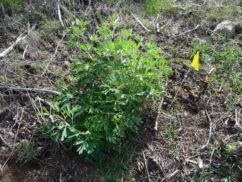 flagged peony plant
