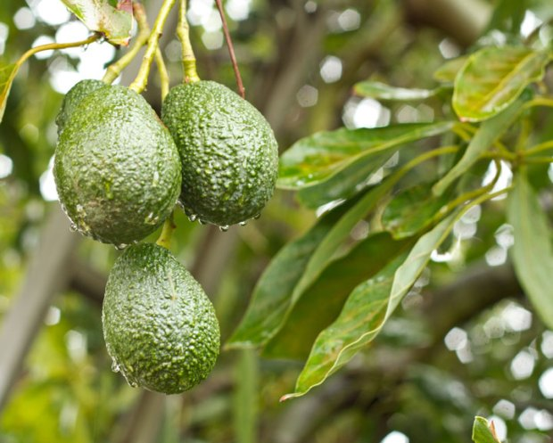 avocados in the rain