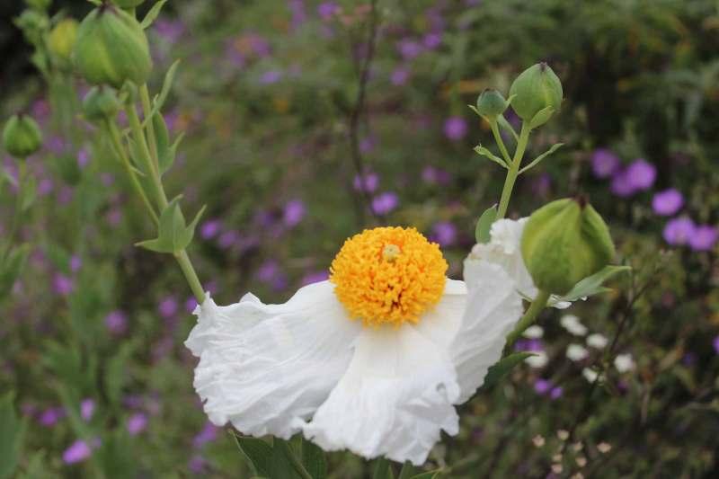 Matilija Poppy blooming