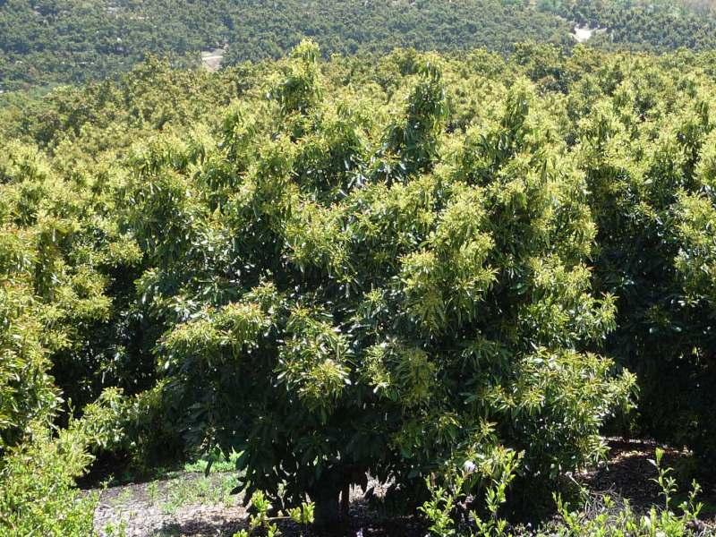 healthy avocado trees
