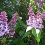 purple lilacs beginning to bloom