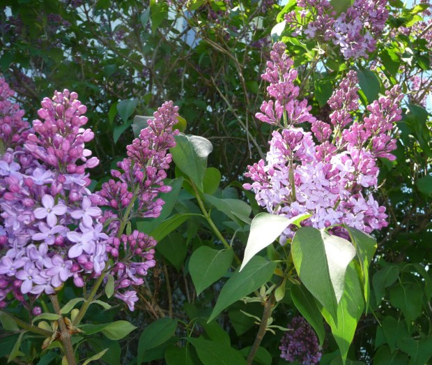 purple lilacs beginning to bloom