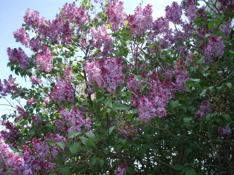 purple lilacs