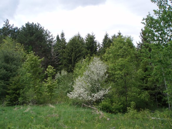 Wild apple tree