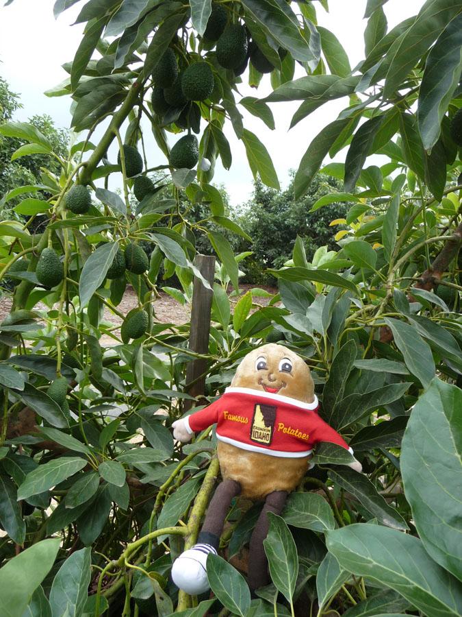 Spuddy Buddy loves California avocados