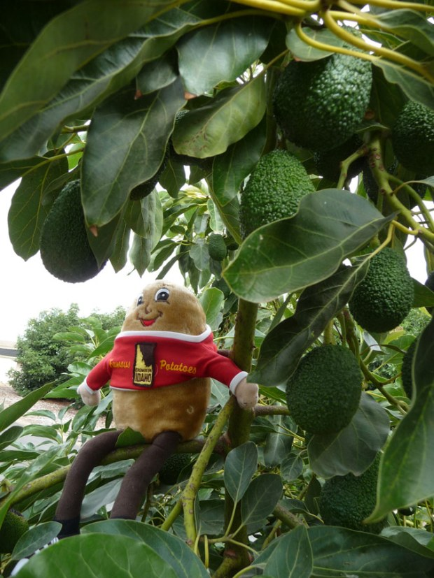Spuddy Buddy in avocado tree