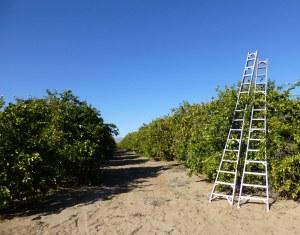Citrus groves in Coachella Valley