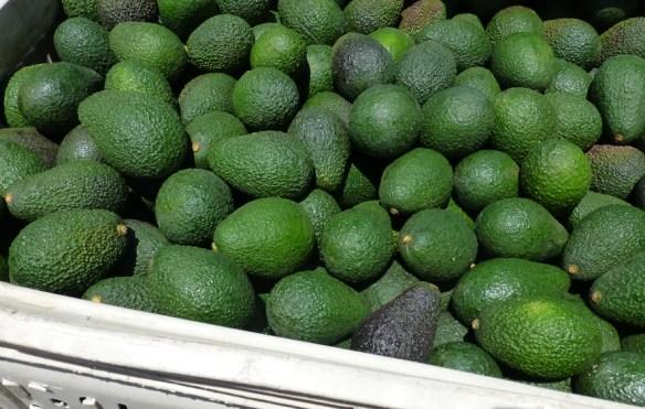 harvested avocados