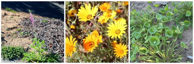 wild flowers in spring So. California