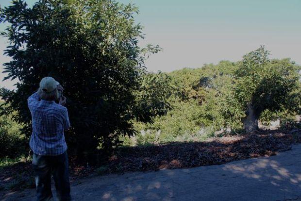 avocado trees regrown