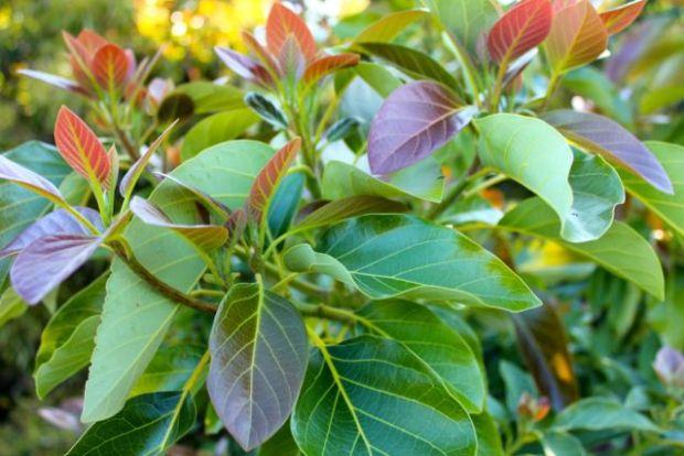avocado-foliage