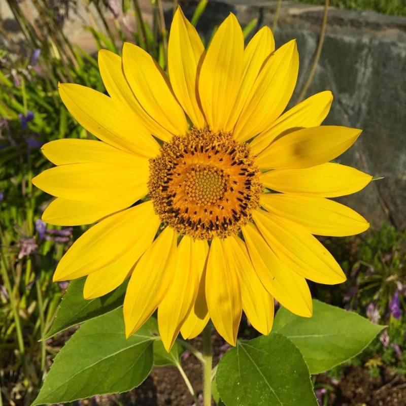 sunflower in morning