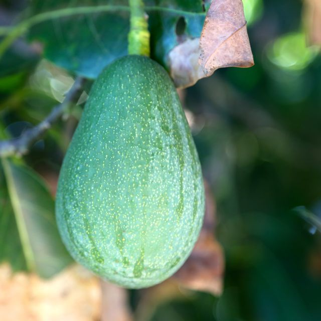 Fuerte Avocados: When to Pick?