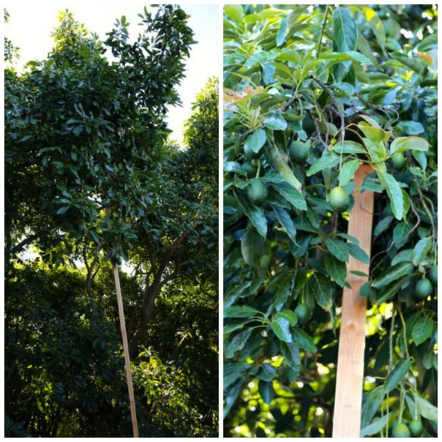 avocado tree supports