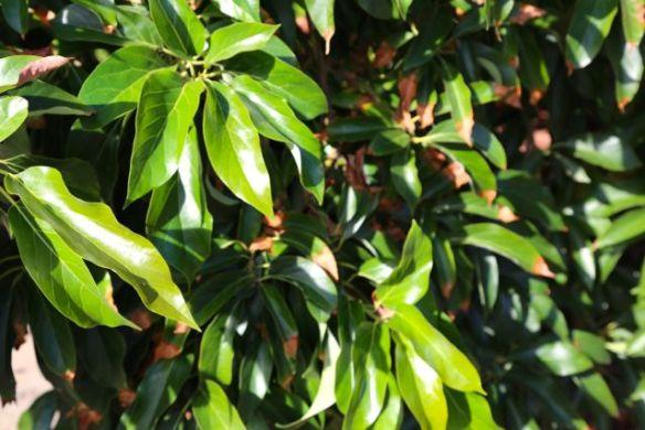 leaf tip burn