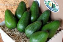 Fuerte avocado gift box