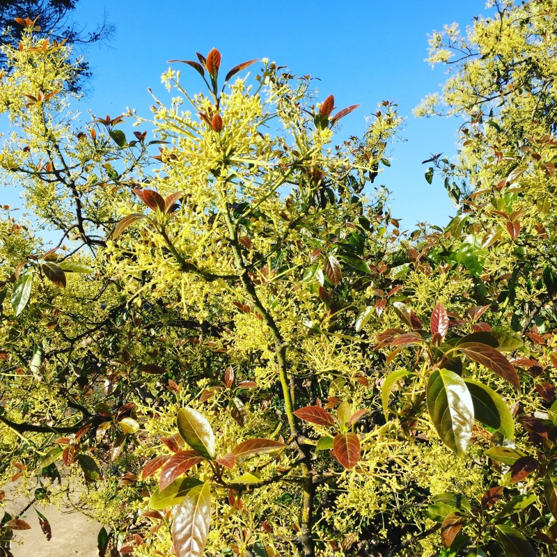 avocado trees blooming